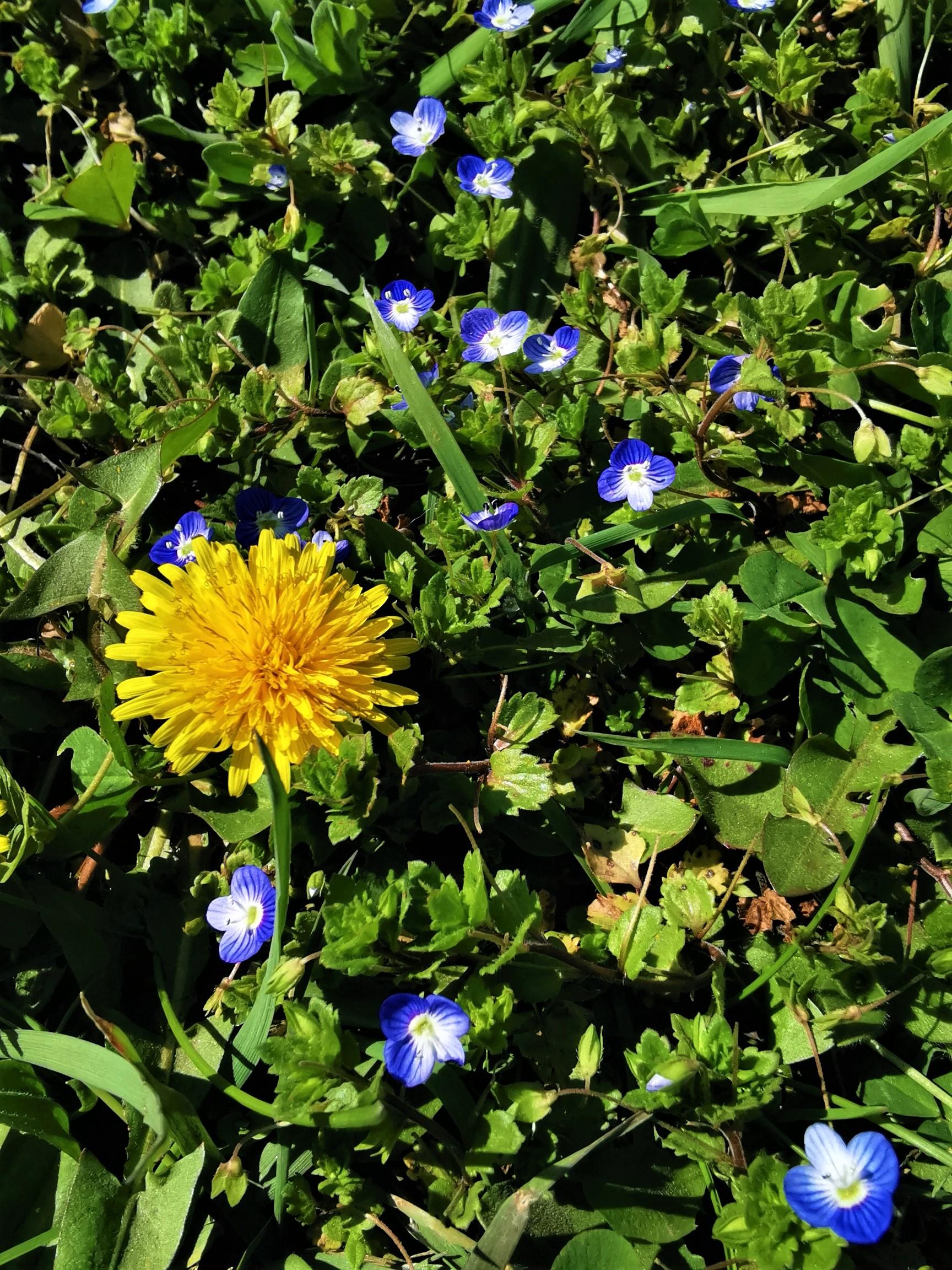 flori primavara papadie albastrele izolare coronavirus